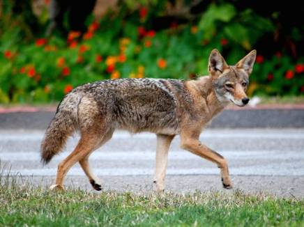 web1_coyote1